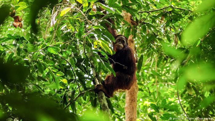 Indonesien Orang-Utans im Borneo-Wald freigesetzt (picture-alliance/Zumapress)