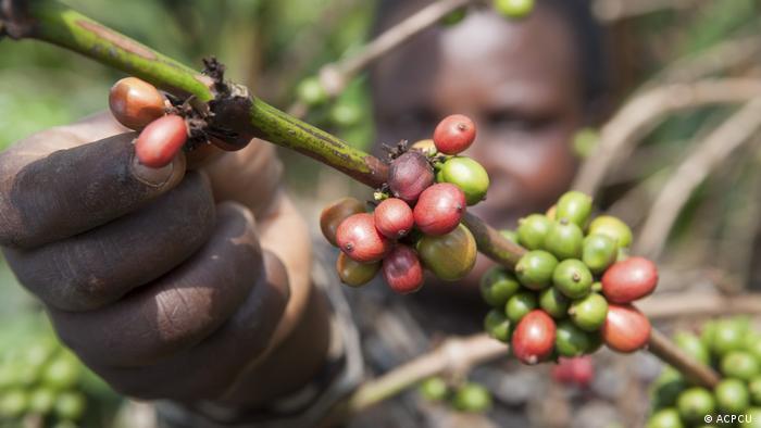 Fairtrade-Kaffeeanbau in Uganda