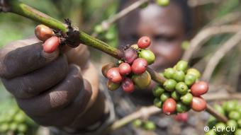 Plantation de café en Ouganda (photo d'illustration)