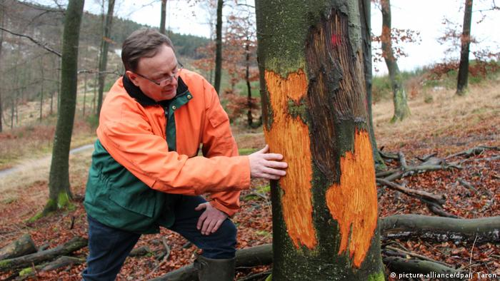 Forester in orange-green jacket examines bark damage to beach trees
