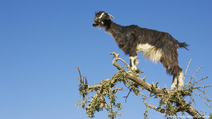 Cabra sobre un árbol.