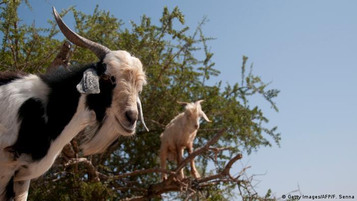 Zwei Ziegen stehen auf Ästen (Foto: Getty Images/AFP/F. Senna).