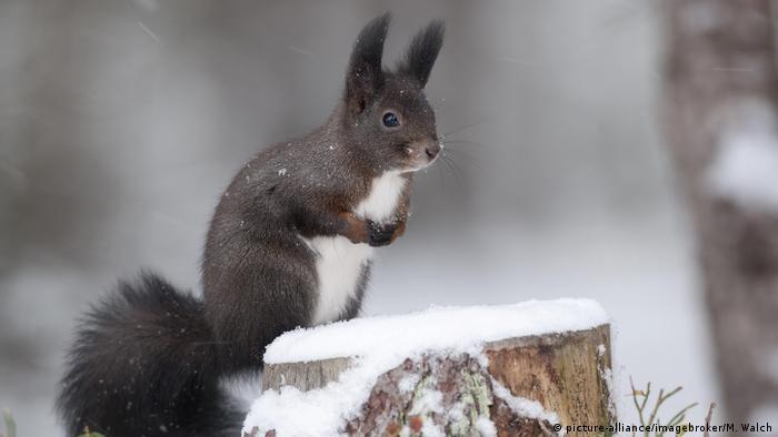 Graues Eichhörnchen im Schnee (picture-alliance/imagebroker/M. Walch)