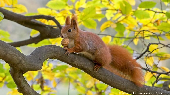 Eichhörnchen mit Nuss (picture-alliance/imagebroker/T. Hinsche)