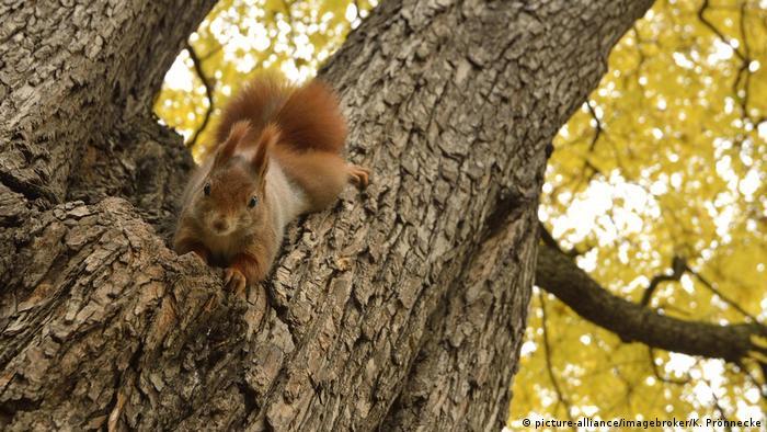 Eichhörnchen kopfüber am Baum (picture-alliance/imagebroker/K. Prönnecke)