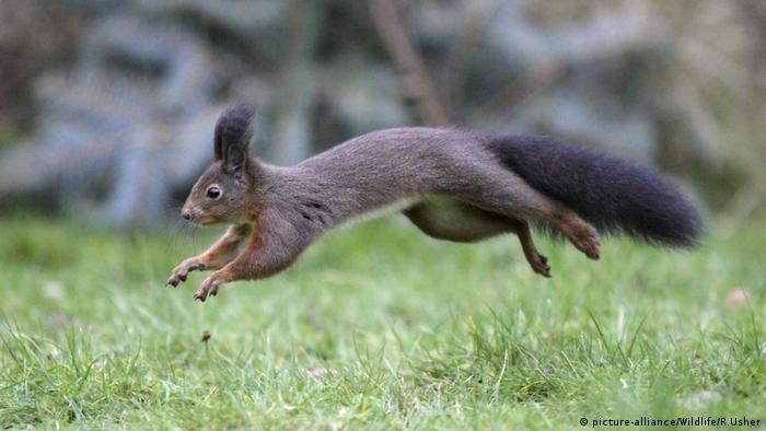 Eichhörnchen im Sprung (picture-alliance/Wildlife/R.Usher)