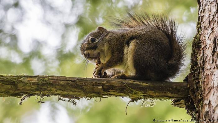 Squirrels that favor one paw are less 'smart'