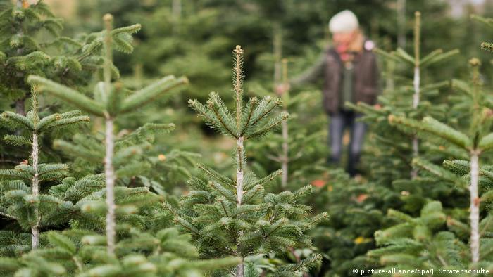 German Christmas Tree.Climate Change Threatens Germany S Christmas Trees