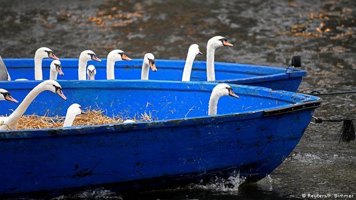 Schwäne in einem blauen Ruderboot (Reuters/F. Bimmer)