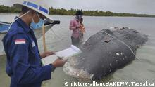 Indonesian official examines a paper in front of the carcass of a sperm whale