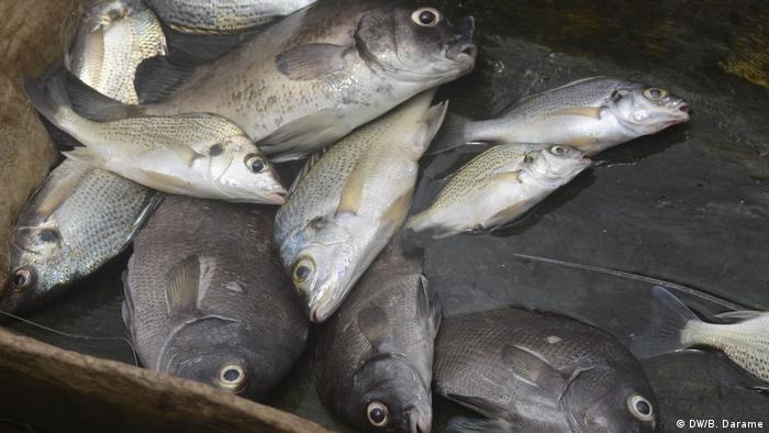 Guinea, Bissau: Fischerei (DW/B. Darame )