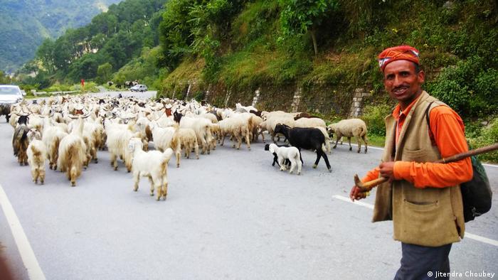 Weidewirtschaft in Indien: Ein Hirte mit seinen Ziegen und Schafen auf einer Bergstraße im Himalaya