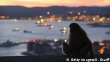 Gibraltar - Affen