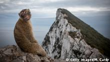 GIBRALTAR, GIBRALTAR - SEPTEMBER 09: A Barbary macaque wild monkey sits at the top of the rock on September 9, 2018 in Gibraltar, Gibraltar. As the date for the United Kingdom's departure from the European Union approaches, the effects of Brexit on the self-governing 6.8 square-kilometre enclave, whose 34,000 residents voted 96 percent to remain and is already outside the EU customs union, remains still unclear. A British territory for 300 years, which has a land border with Spain, has a $2.9 billion services economy which heavily relies on frontier workers coming from Spain for about 50 percent of its labour force. (Photo by Matt Cardy/Getty Images)