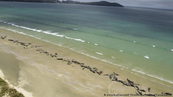 Pilot whales lie beached on New Zealand's Stewart Island (picture-alliance/AP Photo/Department of Conservation)