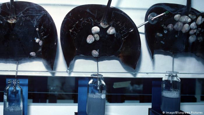 Captured horseshoe crabs in a lab, their blue blood is extracted into bottles (Imago/Bluegreen Pictures)