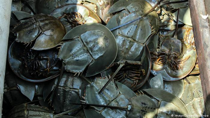 Mehrere gefangene Pfeilschwanzkrebse in einem Boot