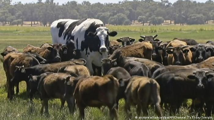 Knickers the big Holstein Friesian of Australia