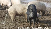 Deutschland Freilandschweine | Eber