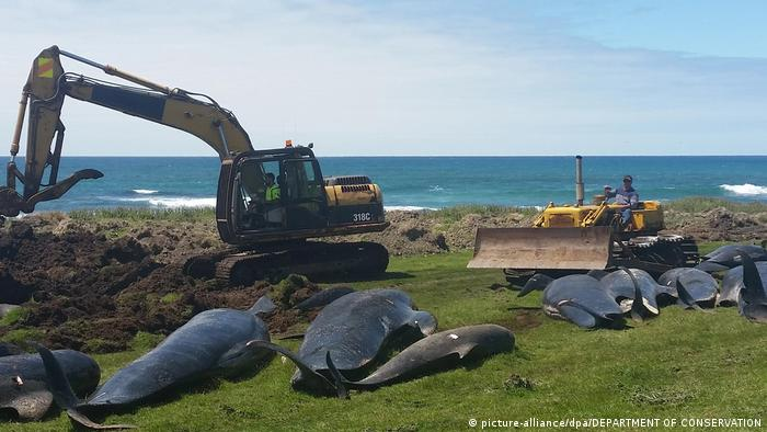 Stranded whales on the Chatham Islands in New Zealand (picture-alliance/dpa/DEPARTMENT OF CONSERVATION)