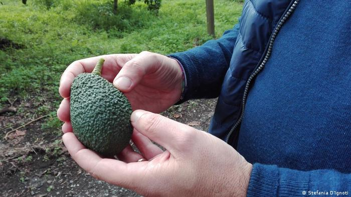 A green avocado in a man's hands