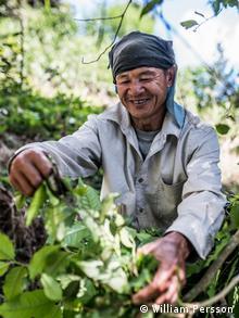 Ein Mann im Wald, der Blätter von einem Baum pflückt (Foto: Jinpah Smith)