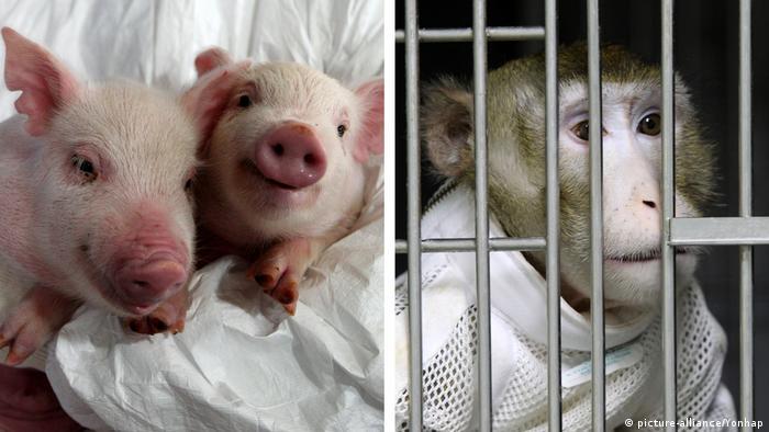Affe erhält geklontes Schweineherz (picture-alliance/Yonhap)
