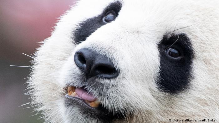 A female giant panda named Meng Meng stares at visitors from her enclosure in the Berlin Zoo