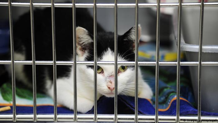 A cat with a scarred nose in its pen in the Berlin Animal Shelter