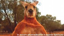 Australien Känguru Roger