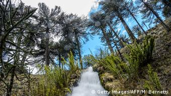Global Ideas Bedrohte Arten Aurakarien Wälder in Chile