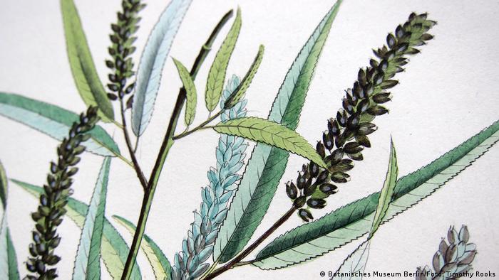 Desenho de Salix humboldtiana, o salgueiro-chorão