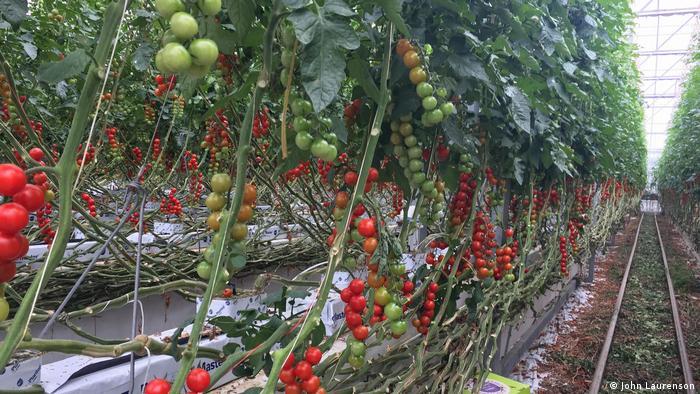 Stauden von Tomaten, die aus kleinen Säcken wachsen (Foto: John Laurenson)