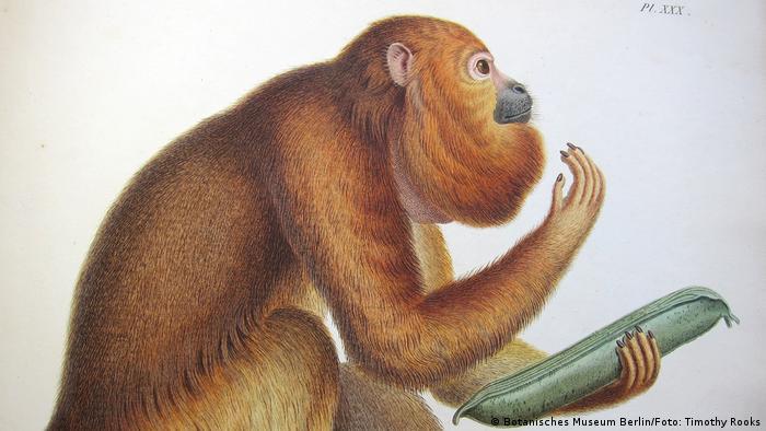 Zechnung eines Brüllaffen aus Humboldts zoologischem Werk Recueil d'observation de zoologie et d'anatomie comparée
