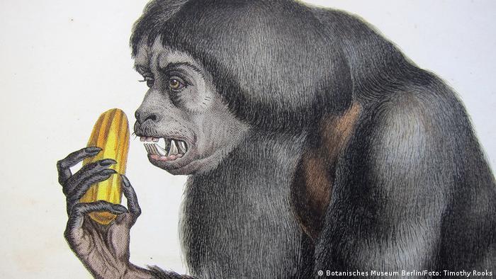 Zeichnung eines Schwarzen Saki, auch Satansaffe genannt