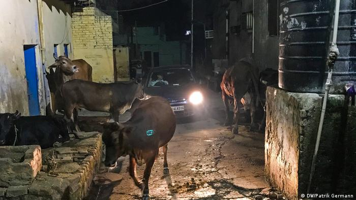 How India′s sacred cows are creating havoc on the streets