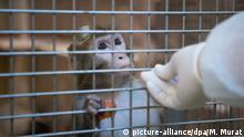 ARCHIV - ILLUSTRATION: 10.03.2016, Baden-Württemberg, Tübingen: Ein Rhesus-Affe mit einem Implantat wird in der Tierhaltung im Max-Planck-Institut für biologische Kybernetik von einem Tierpfleger gefüttert. (zu dpa «Strafbefehle wegen Misshandlung von Affen beantragt vom 20.02.2018) Foto: Marijan Murat/dpa +++(c) dpa - Bildfunk+++   Verwendung weltweit