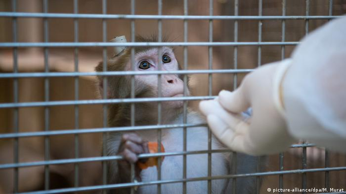 A Rhesus monkey with an impant in a cage at the Max-Planck-Institute in Tübingen, Germany (picture-alliance/dpa/M. Murat)