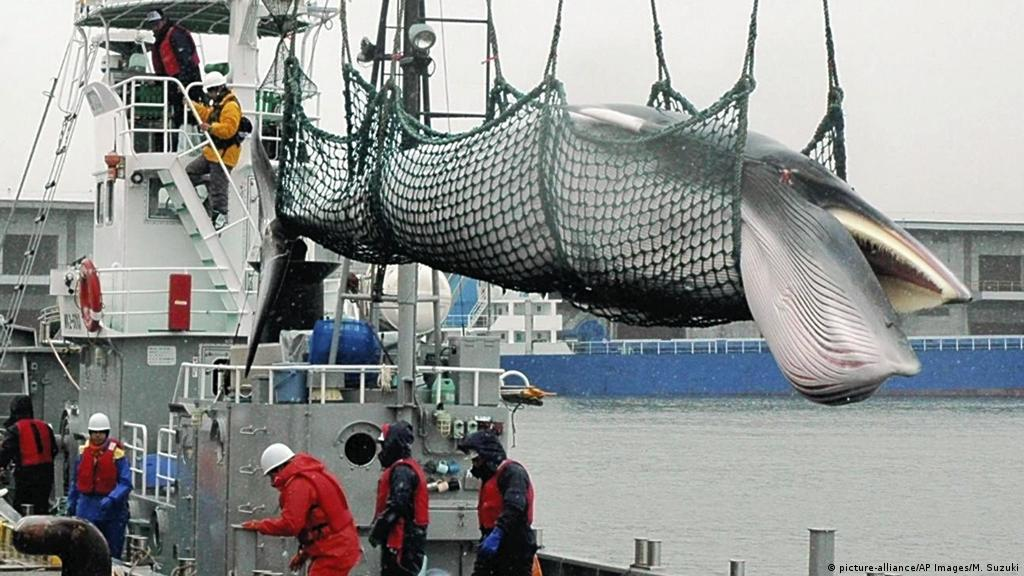 Japan withdraws from International Whaling Commission | News | DW