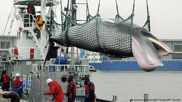 Captured whale above ship