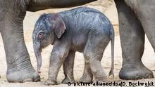 BdT Elefantennachwuchs in Hagenbecks Tierpark