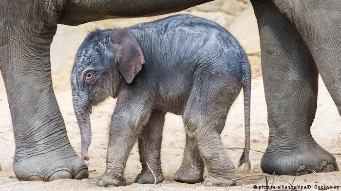 Elefantennachwuchs in Hagenbecks Tierpark (picture-alliance/dpa/D. Bockwoldt)