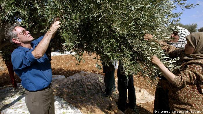 Israel - Schriftsteller Amos Oz verstorben - Olivenpflücken im Westjordanland (picture-alliance/dpa/M. Kahana)