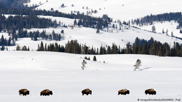 A line of buffalo walking in the snow in Yellowstone National Park