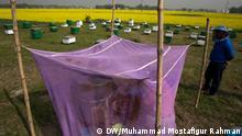 01/01/2019 Farmers harvest honey next to hundreds of acres of mustard fields at Saatgaon of Munshiganj's Srinagar. Bangladesh