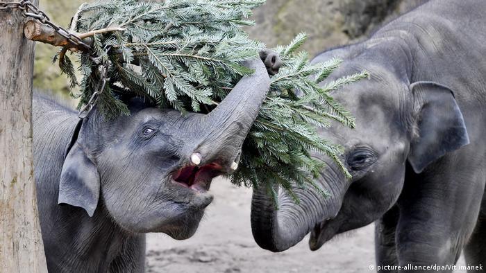 Для обитателей зоопарков хвойные ветки - настоящее лакомство