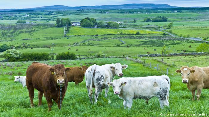 Луга в Ирландии, на которых пасутся коровы