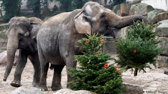 Berlin Zoo Animals Feast On Play With Christmas Trees News Dw