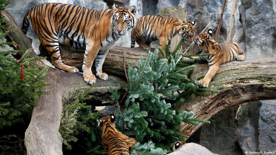 Berlin zoo animals feast on, play with Christmas trees   News   DW   05.01.2019