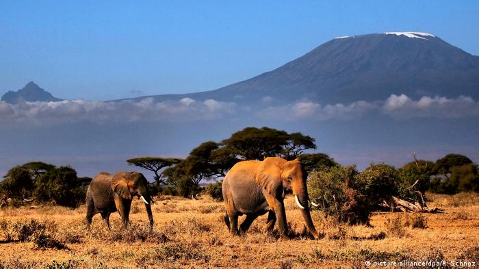 Elephants walking on the savanna. A snow-capped mountain in the background